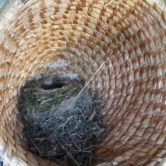 Gnijezdo u pletari!